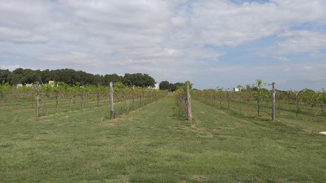 Photo of grape vines at the Solaro Estate Austin Winery