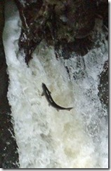 salmon-pitlochry-falls_176x274