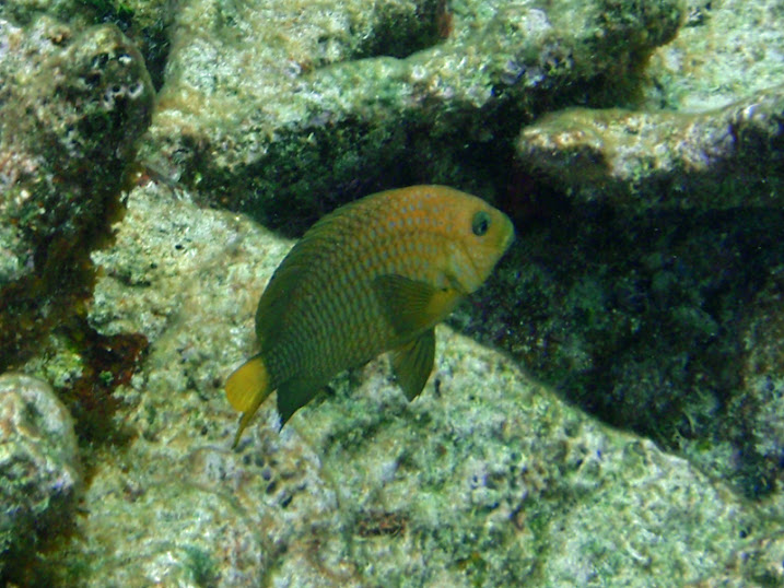 Microspathodon chrysurus (Adult Yellow-tail Jewel Damselfish) near Tranquility Bay Resort.