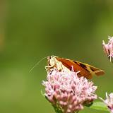 Arctiidae : Arctiinae : Euplagia quadripunctaria PODA, 1761. Les Hautes-Lisières (Rouvres, 28), 2 septembre 2011. Photo : J.-M. Gayman