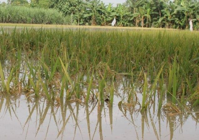 Intensitas hujan tinggi, Lahan Pertanian wilayah dua  Kecamatan Di Ngawi Terendam Banjir