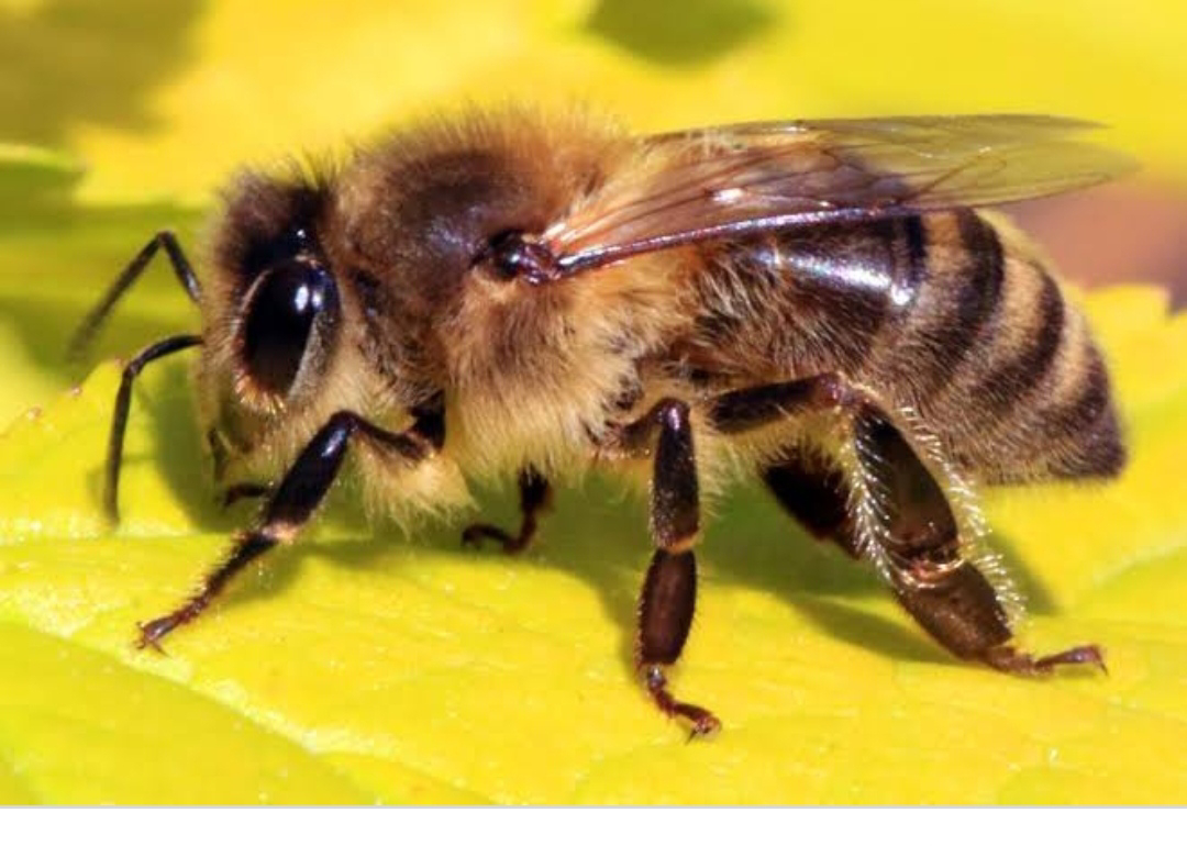 Bees actually have knees. The expression comes from the fact that they store large build ups of pollen in hairy baskets on their knees