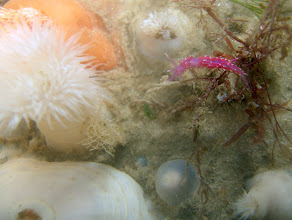 Photo: Nudibranch - Flabellina pedata, and plumose anemones