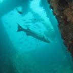 Barracuda in the US Liberty wreck (Tulamben, Bali)