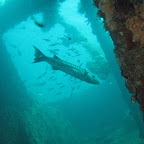 Barracuda in the US Liberty wreck (Tulamben, Bali)
