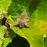 Sphingidae : Macroglossinae : Macroglossum stellatarum (LINNAEUS, 1758). Les Hautes Lisières, 7 octobre 2009. Photo : J.-M. Gayman