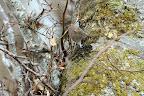 ACCROBRANCHES   Les campagnols roux savent grimper et redescendre des arbres
