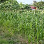 New planting sweet corn on open field 2012 1.jpg