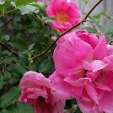 Gardening 2011 - 100_7321.JPG