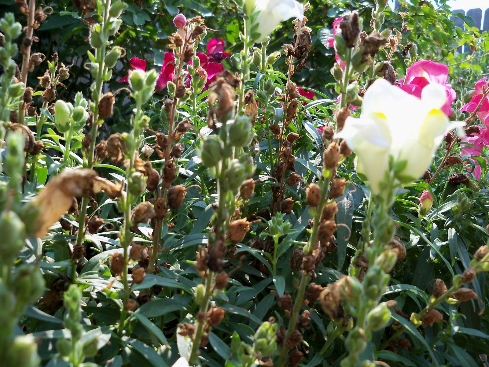 Gardening 2011 - 100_9398.JPG