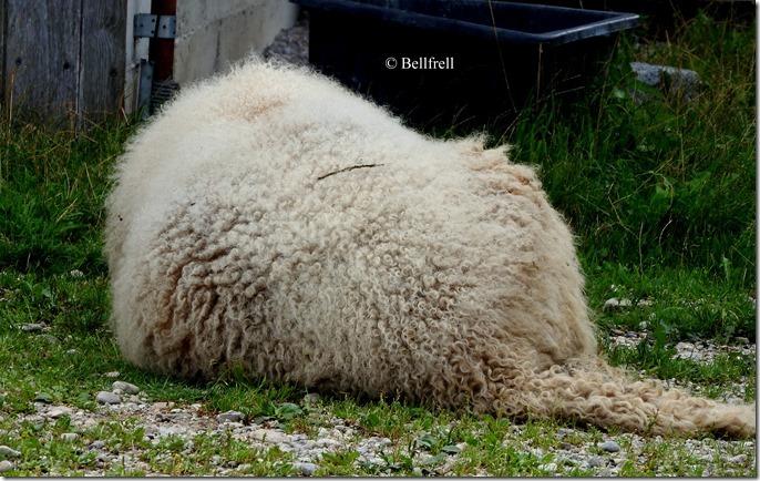 Schafsrücken