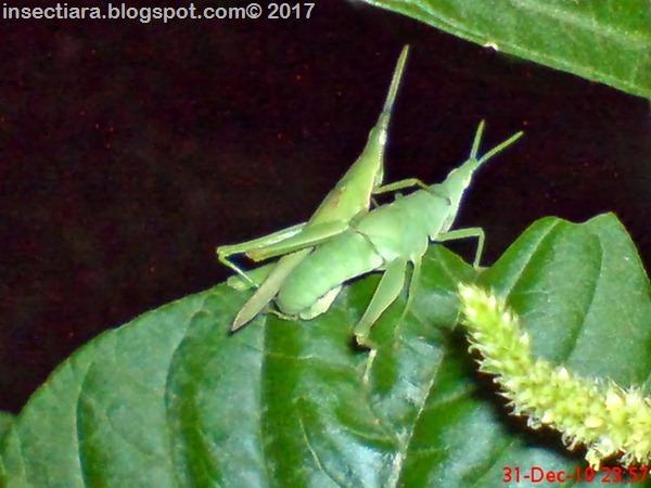 nimfa belalang Atractomorpha screnulata kawin_2