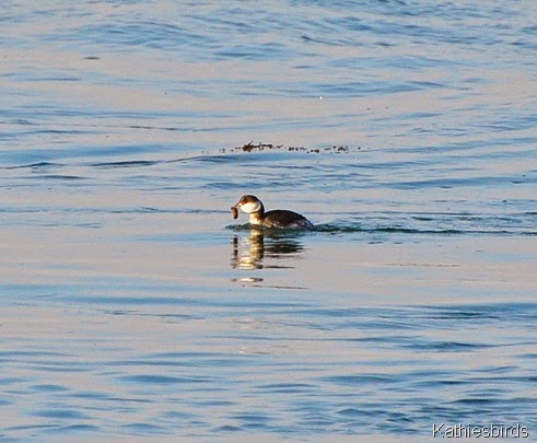 15. horned grebe-kab