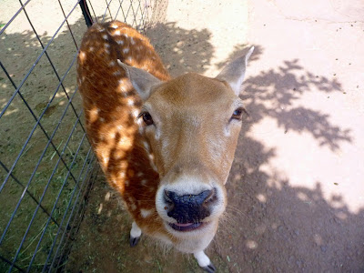 Deer flirting for food at the Grand Canyon Deer Farm & Petting Zoo