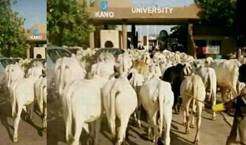 Happening Now!! Fulani Cows Takes Over Education, Resumes invasion into Kano University, Students on the run (Photos)
