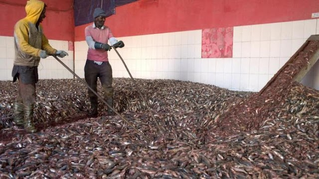 Fish Meal Exports To EU, Asia, Hurts Africa's Food Security