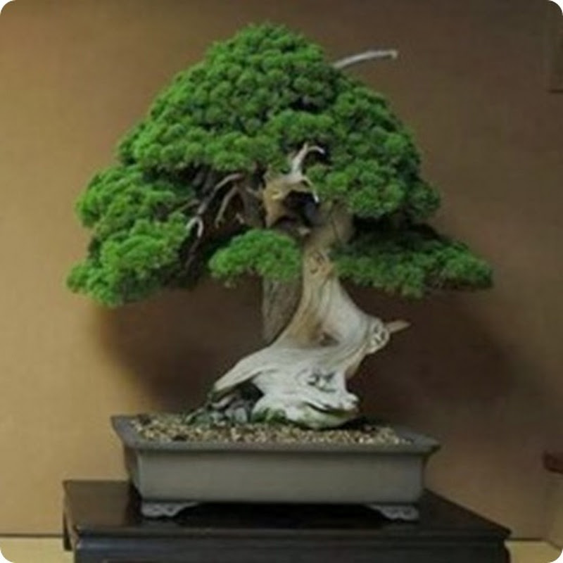 Top 5: Oldest Bonsai Trees.