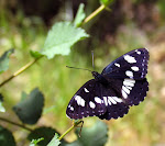 Limenitis reducta3.jpg