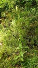 Naparstnica zwyczajna Digitalis grandiflora