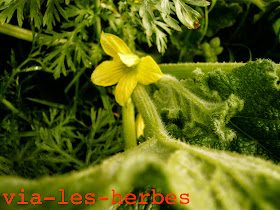 Concombre d'ane, Ecballium elaterium.jpg