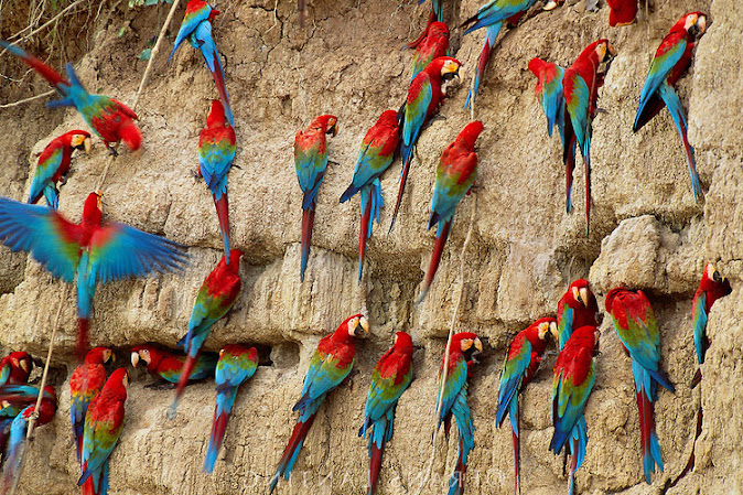 Macaws on Clay Lick Surbound Expeditions
