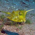 Longhorn cowfish (Dauin, Negros)