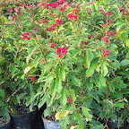 jatropha bush.jpg