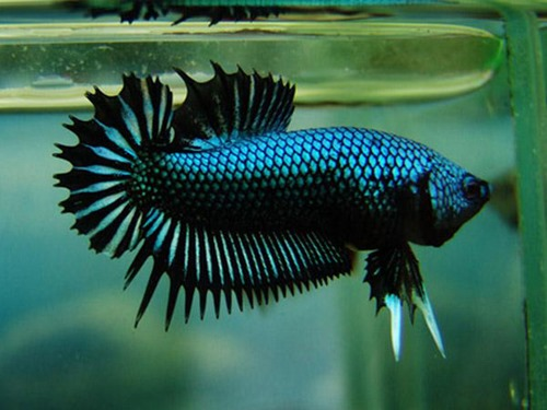 betta-fish-5-gallon-fish-tank-(33)