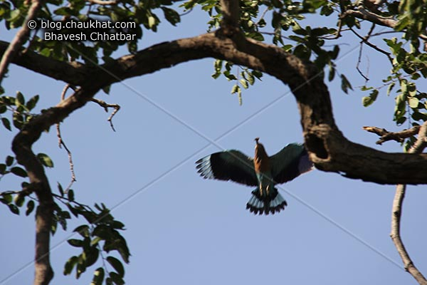 Indian Roller [Coracias Benghalensis] in flight