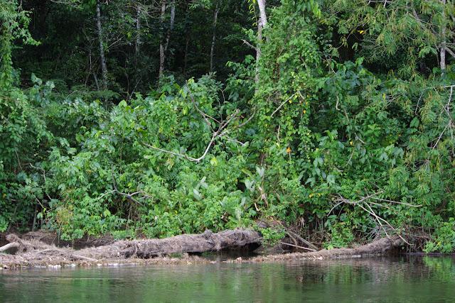 Anaconda sur le second tronc d'arbre. Saut Athanase, 7 novembre 2012. Photo : J.-M. Gayman