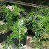 Jual Tanaman Pohon Asam Londo Bahan Bonsai