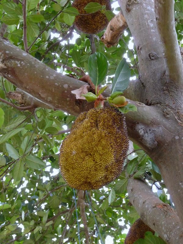 Environs de Taufen  Serait proche de l'ananas