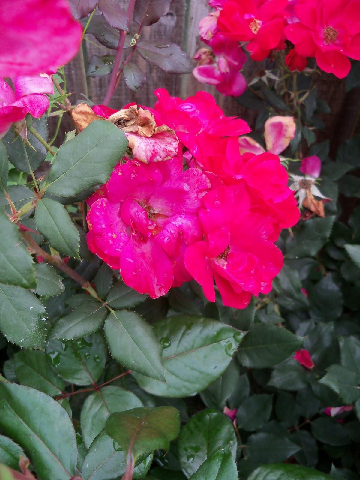 Gardening 2013 - 115_5989.JPG