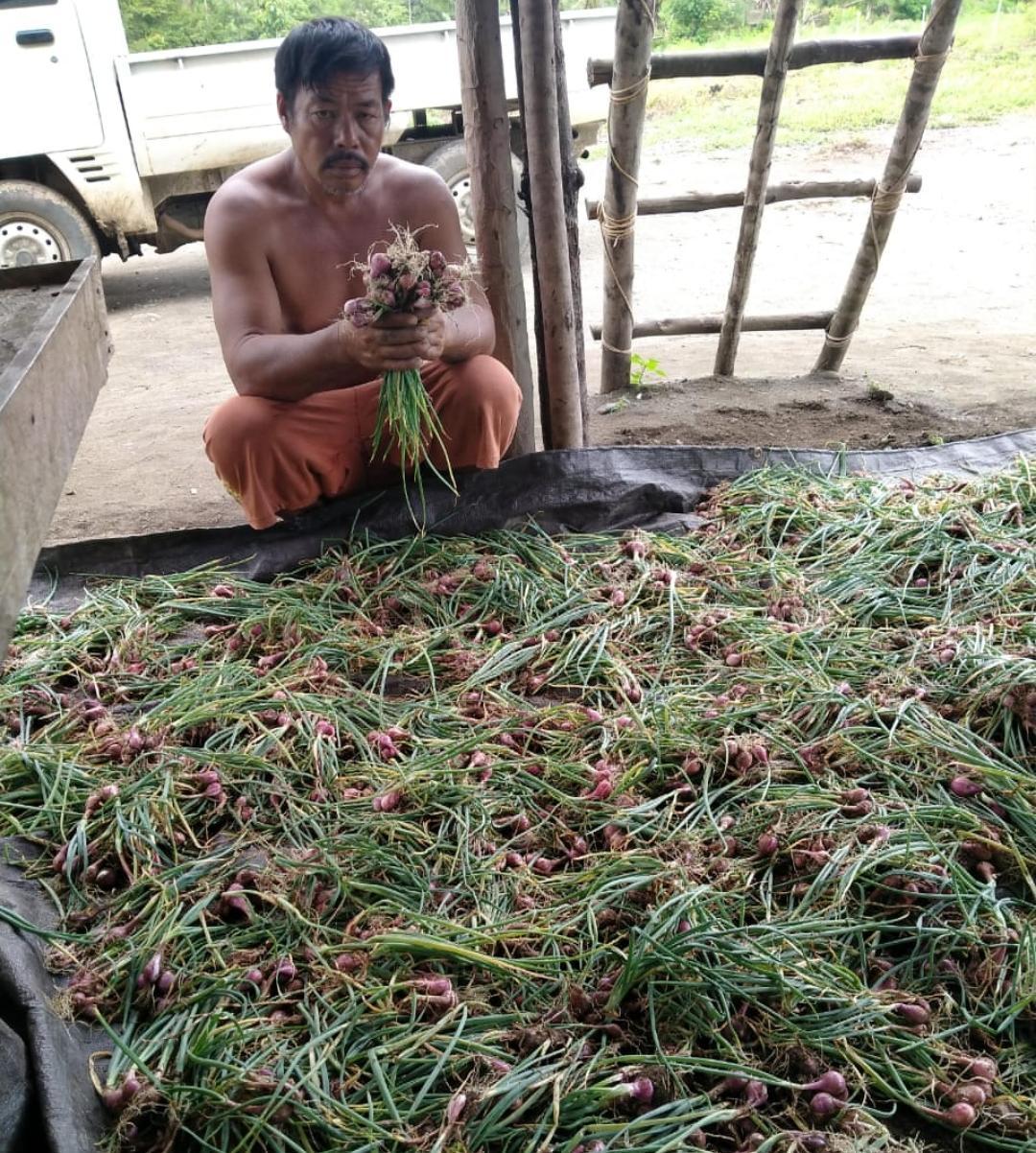 Penyuluh dan Petani Sukseskan Gerakan Ketahanan Pangan Melalui Panen Bawang di Kab. Tojo Una-Una