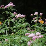 Argynnis paphia (L., 1758), sur Pigamon à feuilles d'ancolie, Thalictrum aquilegiifolium. Chemin de La Rodé, Cocurès, 620 m (Lozère), 6 août 2013. Photo : J.-M. Gayman