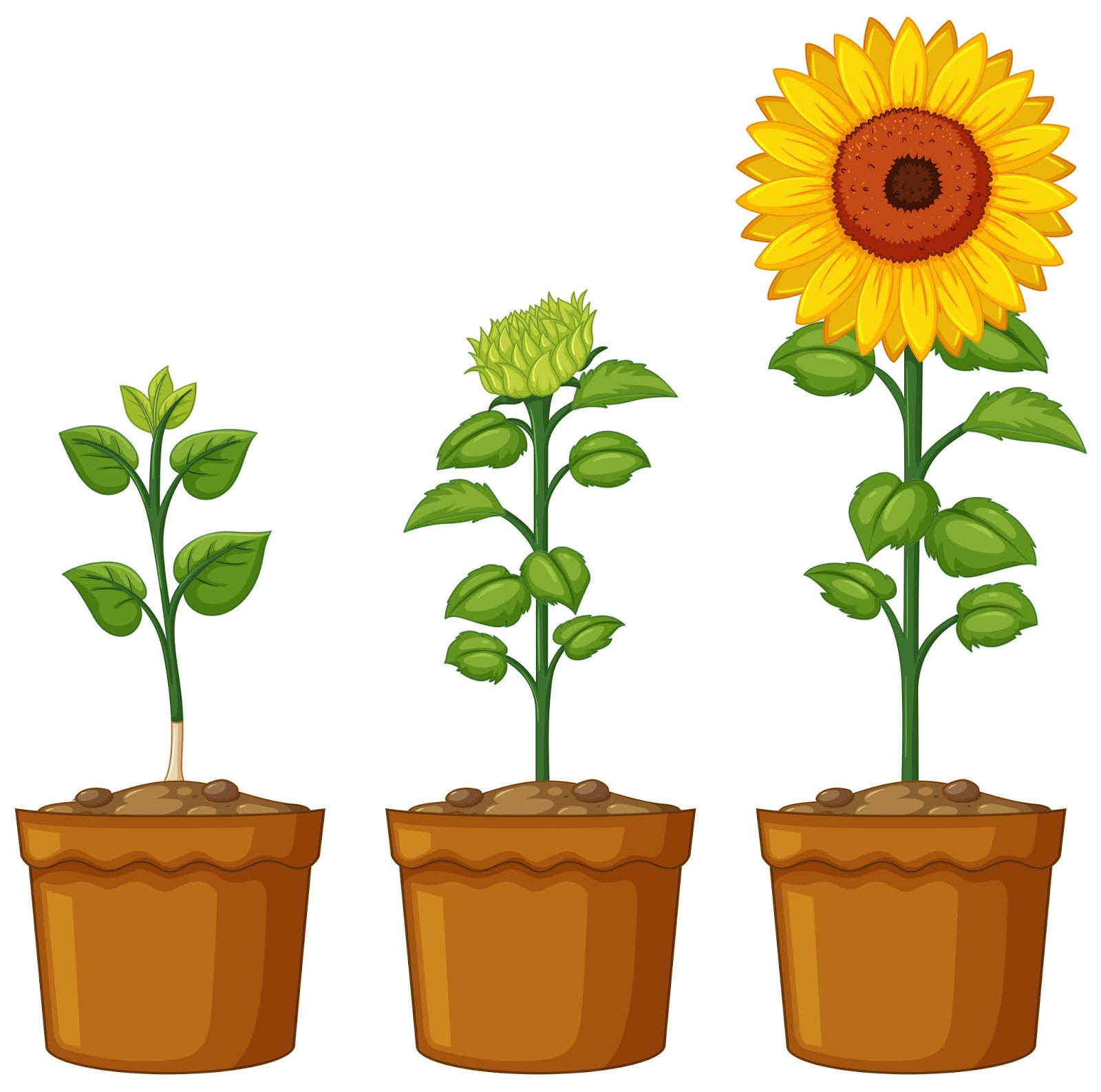 Three Pots Sunflower Plants Free Download Vector CDR, AI, EPS and PNG Formats