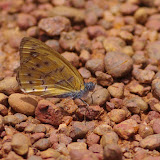 Sevenia amulia CRAMER, 1777. Piste d'Ebogo, Cameroun, 8 avril 2012. Photo : J.-M. Gayman