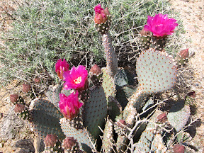 Blooming Beavetail cactus near Mortero Wash