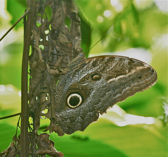 Brassolinae : Caligo illioneus CRAMER, 1776. Erica Lodge (Madre de Dios, Pérou), 13 décembre 2008. Photo : Benoit Nabholz