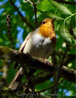 European Robin.. Carassonne. Copyright © Shelley Banks, all rights reserved.