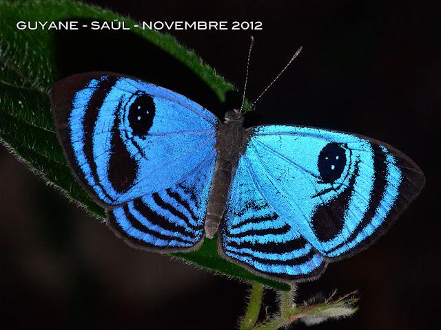 Semomesia capanea capanea (CRAMER, 1779), mâle. Saül, novembre 2012. Photo : M. Belloin