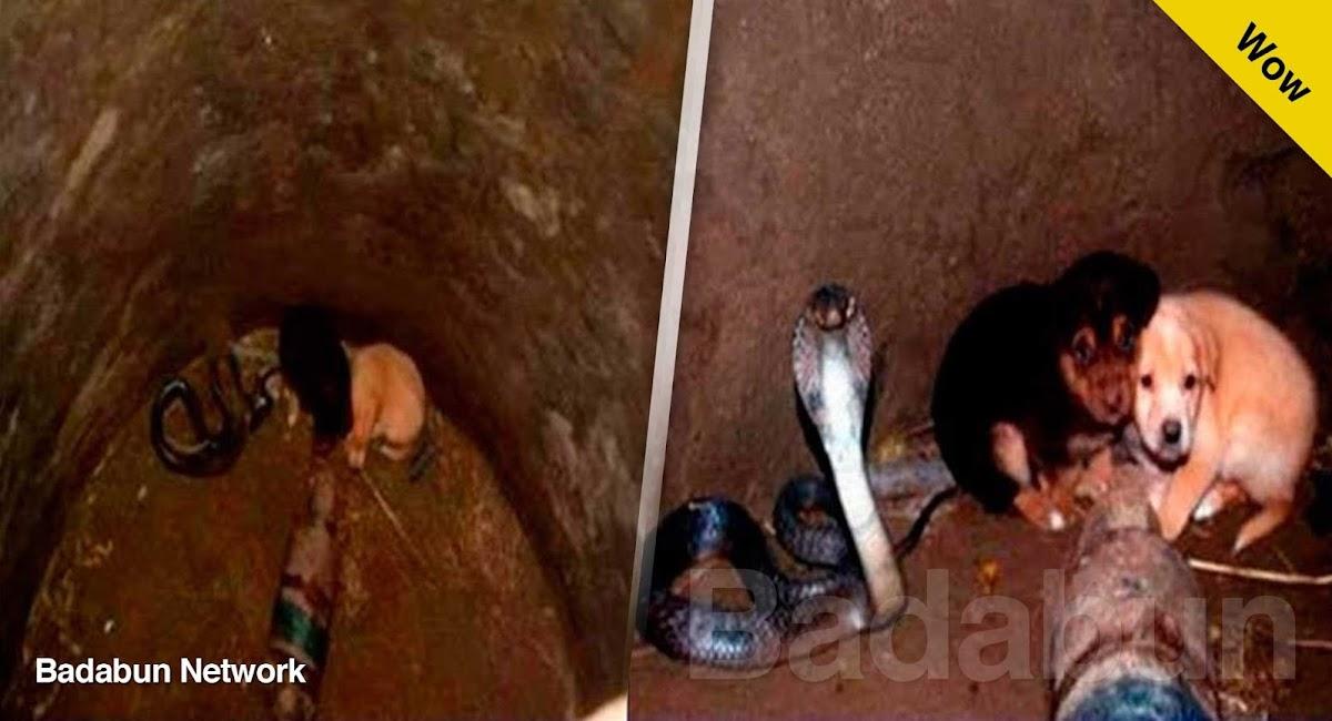 perritos cachorros cobra india punjab naturaleza