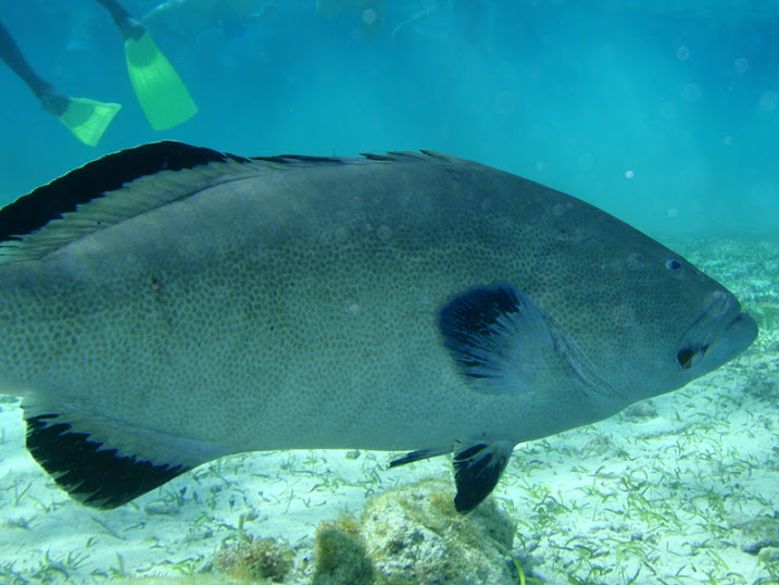 Mycteroperca bonaci (Black Grouper),, Ambergris Caye, Belize.