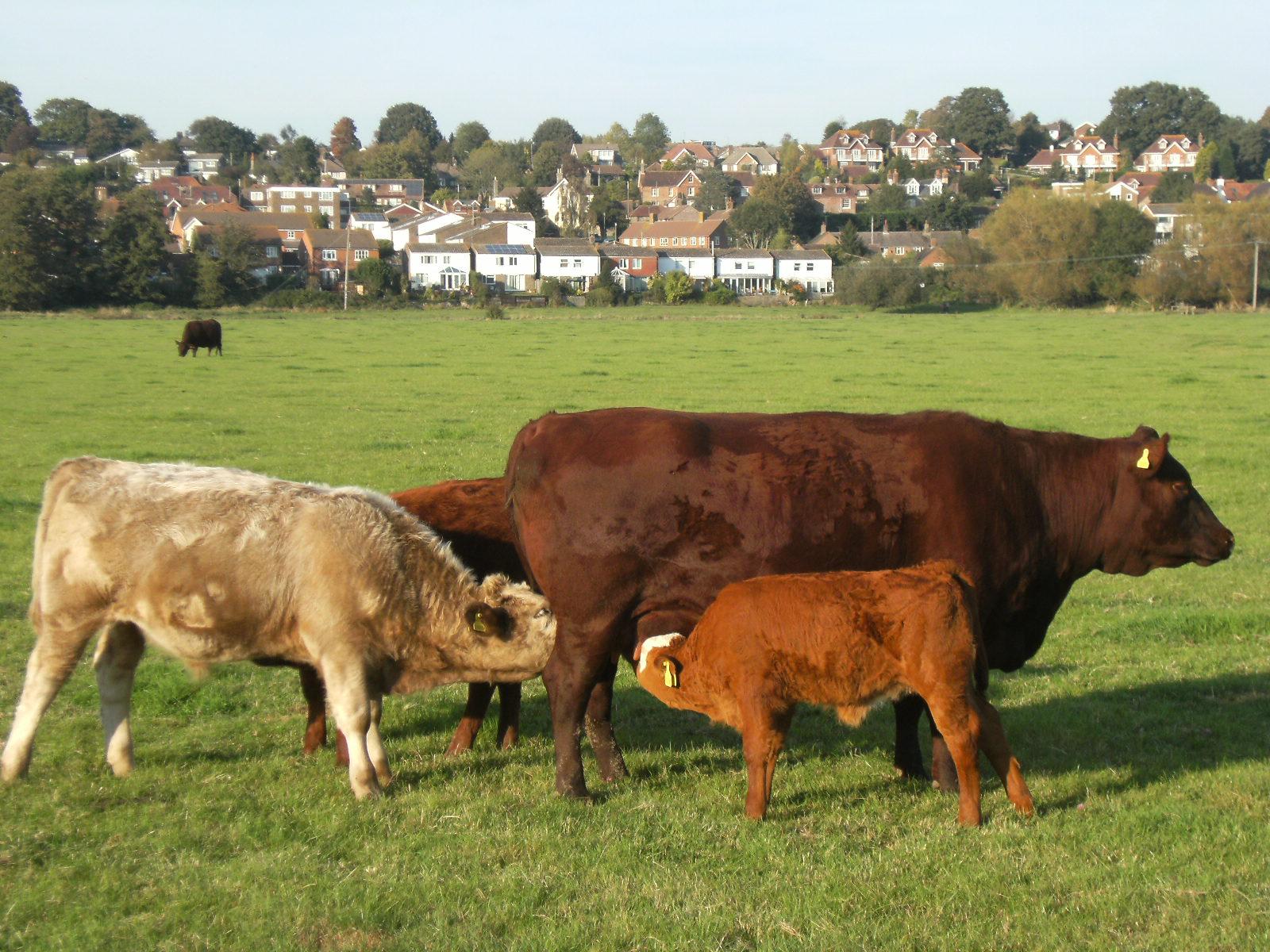 DSCF0014 Cattle, Pulborough Brooks