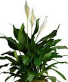 Air cleaning plant Peace Lily Spathiphyllum