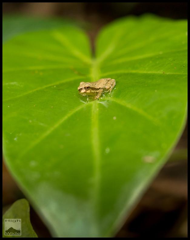Juvenile naked tree frog