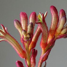 Kangaroo foot by Keld Helbig Hansen - Flowers Flower Buds