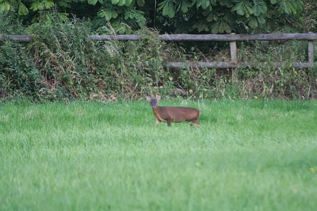 Woodhurst Wildlife Muntjac In The Grassfield - muntjac17.jpg