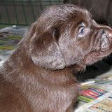 2010-10-26 bruna labrador valpar