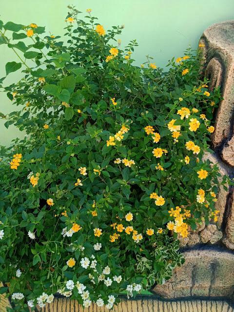 Bunga lantana kuning
